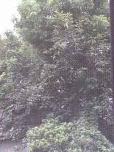 撮影日 2016.07.28 どうやらこの木の向こう側に巣があるようです。